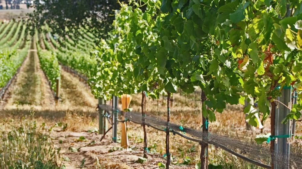 Don 39 t blink it 39 s wine harvest time uncorked the blog for La fenetre chardonnay